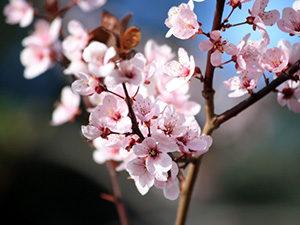 一重梅の花