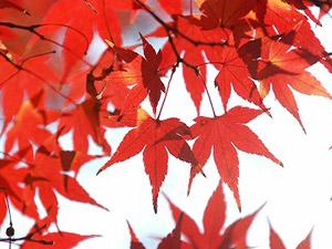 赤く色づいた楓