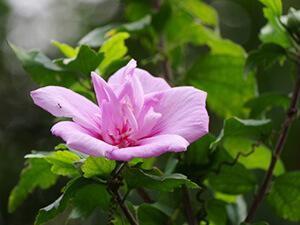 槿花(ムクゲ)